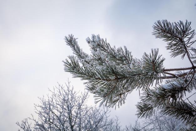 소나무 나무 가지, 자연 겨울에 신선한 하얀 눈.