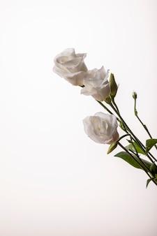Свежие белые три кустовых роз на изолированном фоне.
