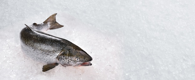 Свежие цельные лососевые морепродукты, сырые на льду, с копией пространства