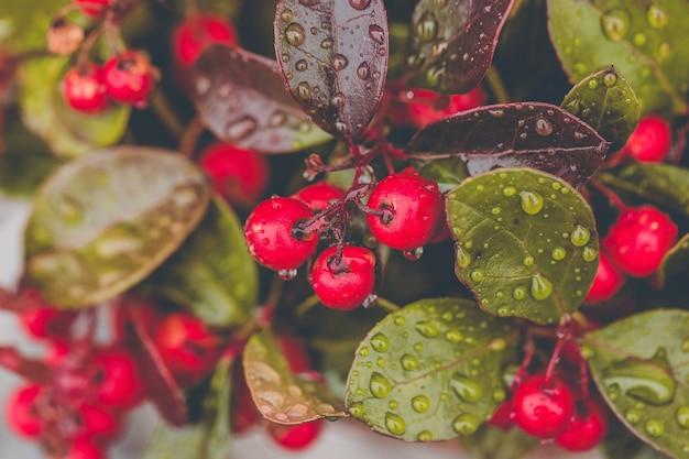 빗방울과 신선한 wintergreen 레드 베리 공장입니다. 클로즈업, 선택적 초점
