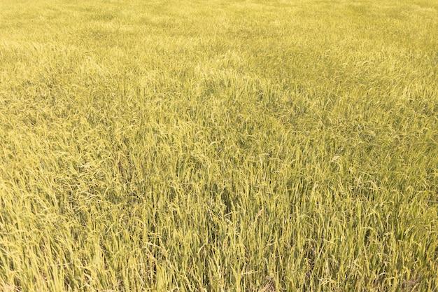 Свежий желтый и зеленый цвет рисового поля