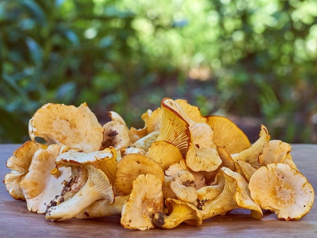 新鮮な黄色のアンズタケ食用キノコ。