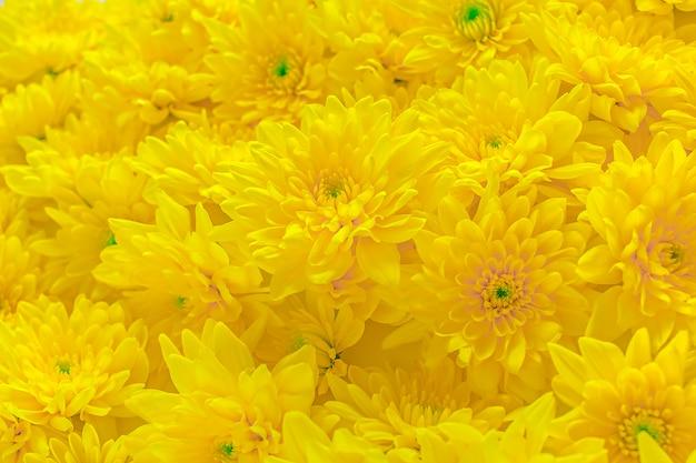 Fresh yellow chrysanthemum flower buds pattern texture
