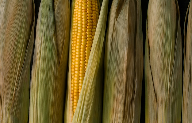 Fresh yellow corn under sun, new vegetable harvest