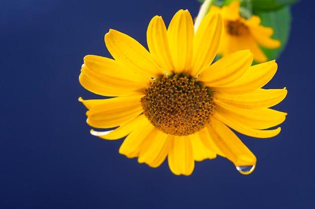 꽃잎에 물 한 방울과 함께 신선한 노란색 꽃. 식물학과 꽃