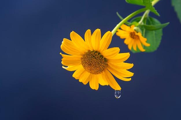 꽃잎에 물 한 방울과 함께 신선한 노란 꽃