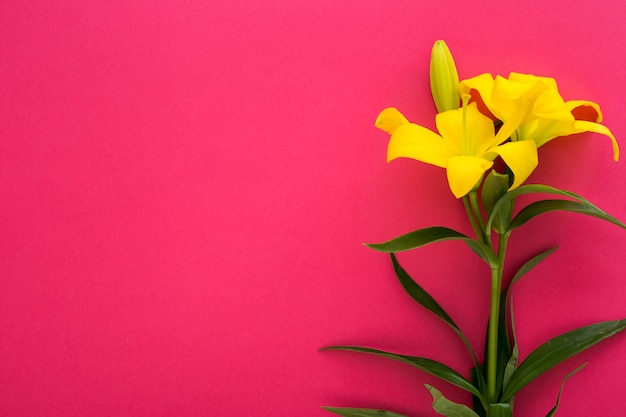 Fresh yellow lily flowers on pink backdrop