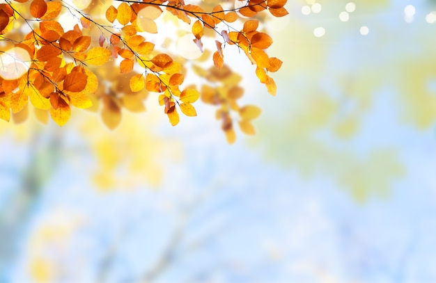Fresh yellow maple fall tree foliage on pale cloudy sky