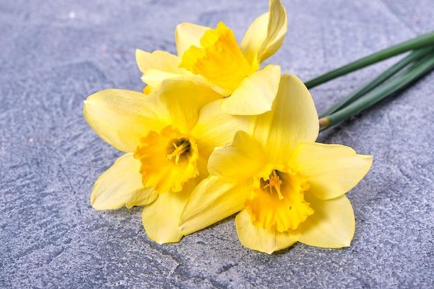 Свежие желтые нарциссы, цветы нарциссов на ярко-синем фоне. вид сверху, плоская планировка, копия пространства, крупный план