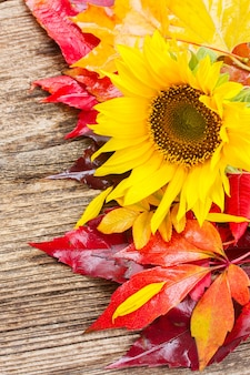 Fresh  yellow sunflower and fall leaves on wood