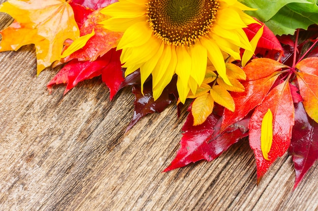 Fresh  yellow sunflower and fall red and orange leaves on wood