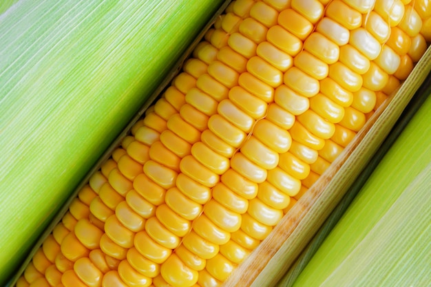 Fresh yellow sweet corn