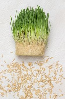 신선한 젊은 녹색 발아 귀리와 귀리 곡물. 발아 곡물