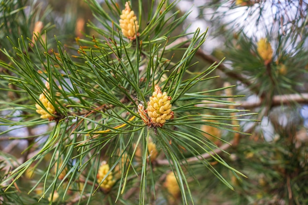 신선한 어린 소나무 새싹, 대체 의학의 열약. 노란색 꽃가루로 덮인 스코틀랜드 소나무의 꽃 가지. 봄 기간