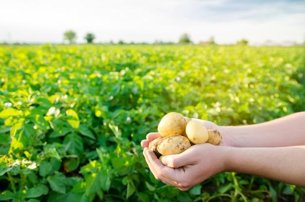 Свежий молодой картофель в руках фермера на фоне сельскохозяйственных плантаций картофеля