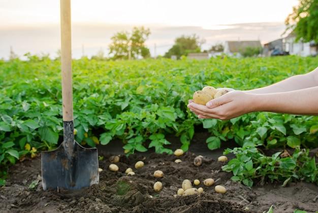 農業用ジャガイモ農園の背景にある農家の手にある新鮮な若いジャガイモ