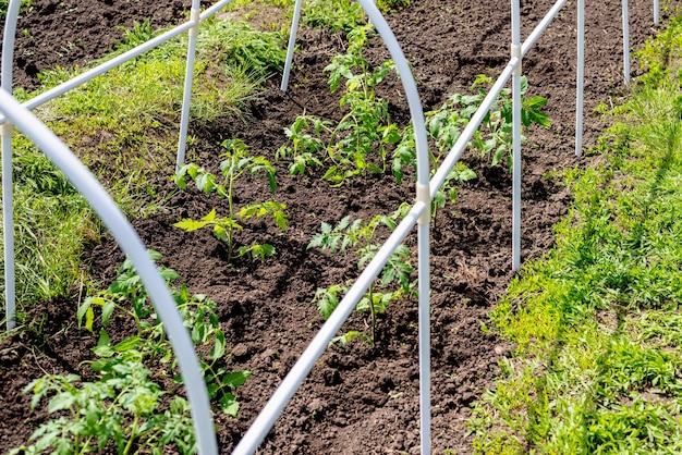 Fresh and young tomato seedlings planted in a garden bed inside a greenhouse in a village in spring