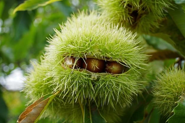 Freshly chestnuts in curls