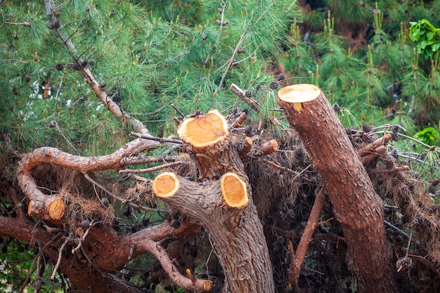 Freshly cut pine tree, ecological problems of nature