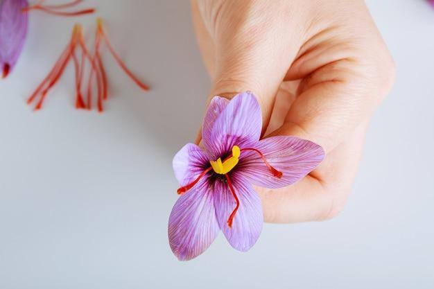 여자 손에 갓 자른 사프란 꽃.