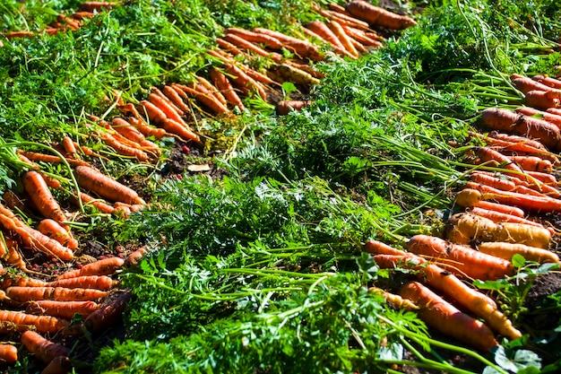 Свежевыкопанные морковки лежат рядами на огороде фермеров