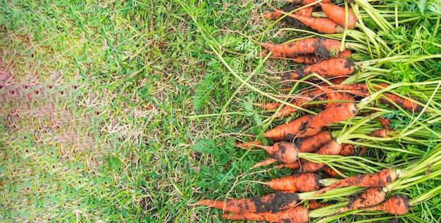 Свежевыкопанные моркови с грязью и ботвой лежат на зеленой траве, концепция сбора урожая, баннер