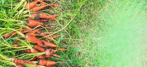 Freshly dug carrots with dirt and tops are lying on the green grass, harvest concept, banner