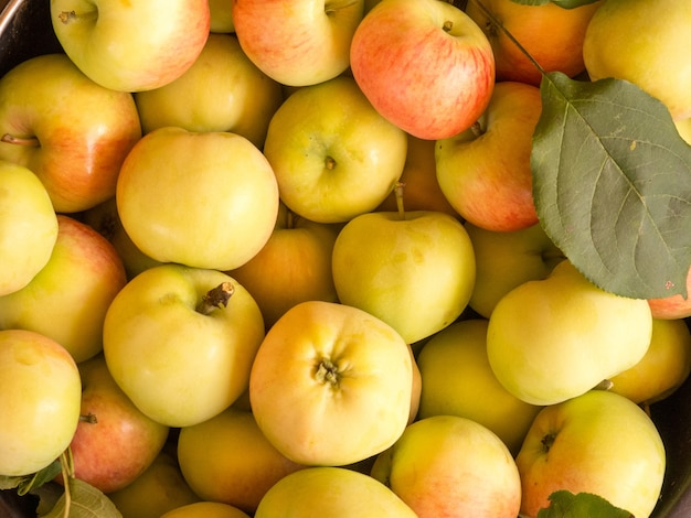 Freshly harvested apple harvest in a bucket