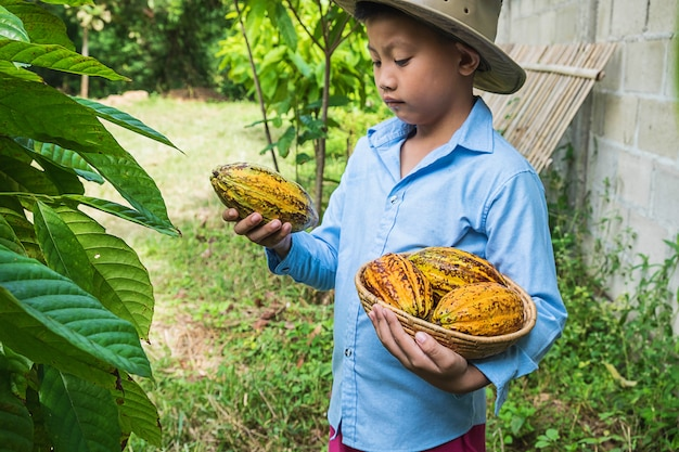 Freshly harvested cocoa from cocoa trees.
