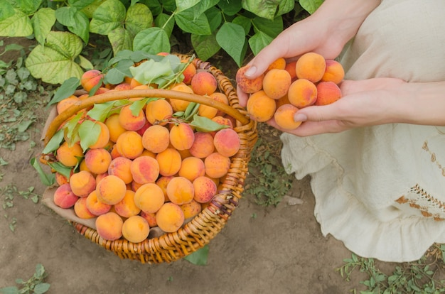 Freshly picked apricot fruit. apricots in basket