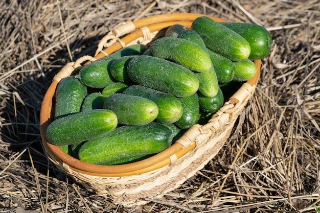 건초 위에 서 있는 고리버들 바구니에 갓 고른 녹색 유기농 오이 건강한 에코 야채