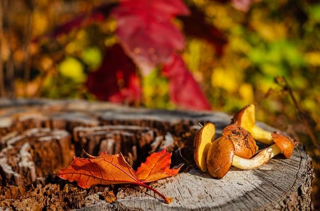 Свежесобранные жирные грибы в диком лесу, лежащие на пне с красочными осенними листьями