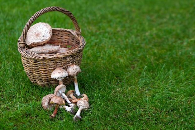 Свежесобранные лесные грибы из местного леса