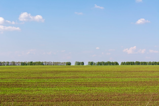 Freshly sown field with young sprouts of crops.