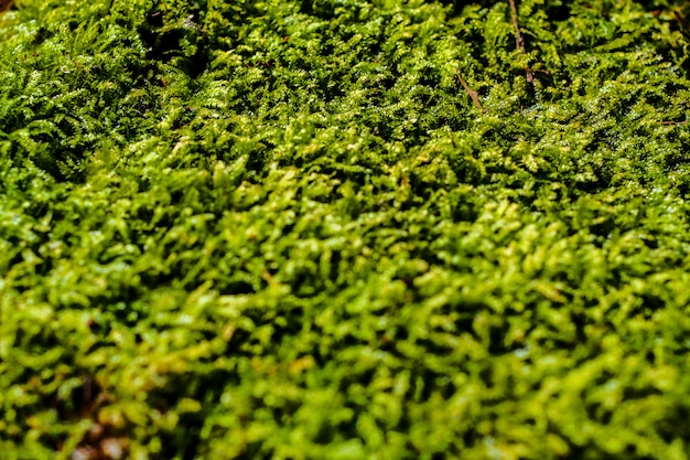 Freshness green moss growing covered on stone floor with water drops in the sunlight