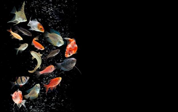 黒の背景に水泡と淡水水族館の魚