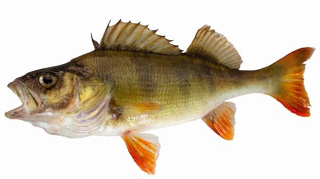 민물고기. 강 농 어 화이트 절연입니다. 입을 벌린 물고기.