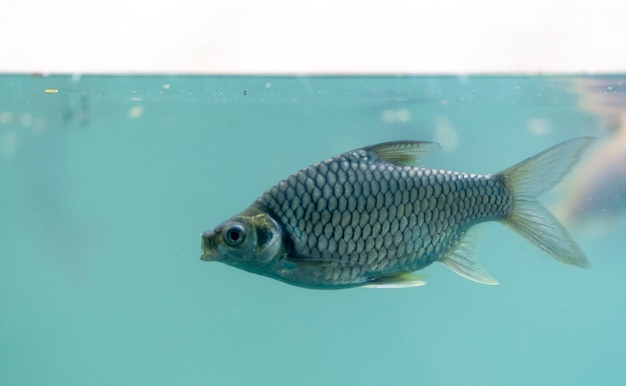 Freshwater fish swim in the water, view from the side