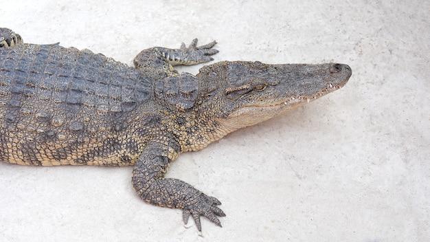 Freshwater or siamese crocodile crocodylus siamensi