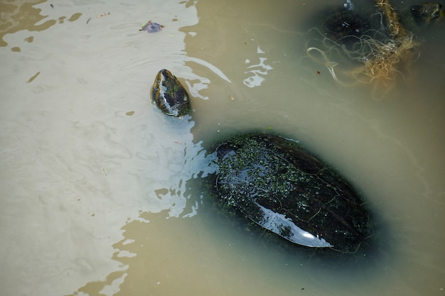 Freshwater turtle is swimming in the river.