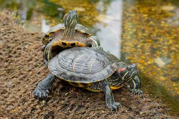 Freshwater turtles on the shore near the water
