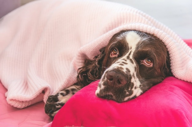 Friendly brown and white english springer spaniel dog covered with soft knitted plaid