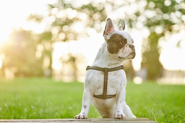 Friendly french bulldog posing in summer park