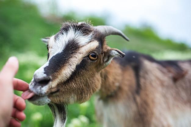 Дружелюбный козел на зеленом лугу.
