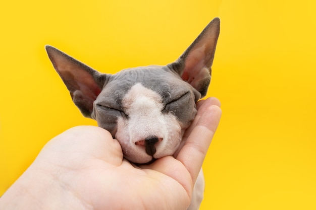 Friendly and loving sphynx cat on isolated on yellow background