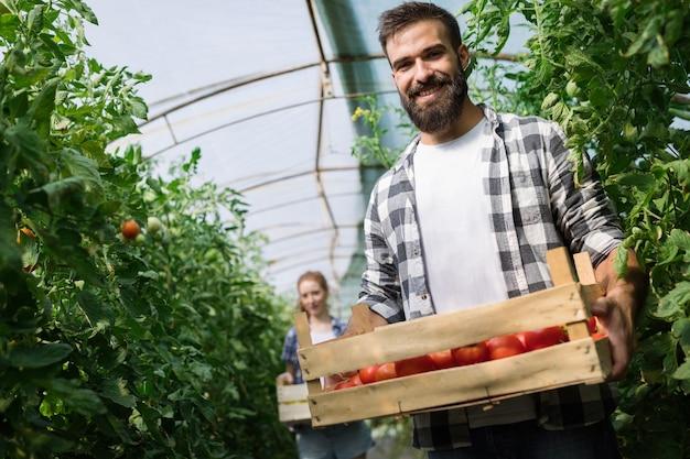 Friendly team harvesting fresh vegetables from the greenhouse garden and harvest season