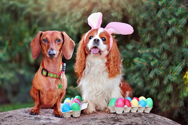 Friends dachshund and spaniel with easter eggs in the park