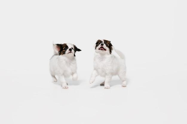 Друзья. papillon падшие собачки позируют. симпатичные игривые собачки брауна или домашние животные, играющие на белом фоне студии. понятие движения, действия, движения, любви домашних животных. выглядит счастливым, довольным, забавным.