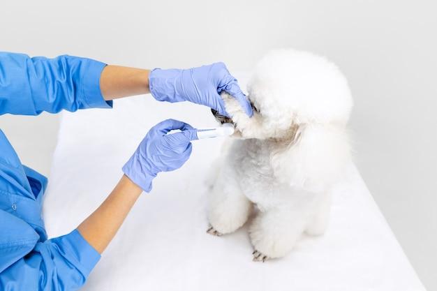 友情。若い美しい女性、獣医、グルーマーは甘い白いプードル犬の世話をします。