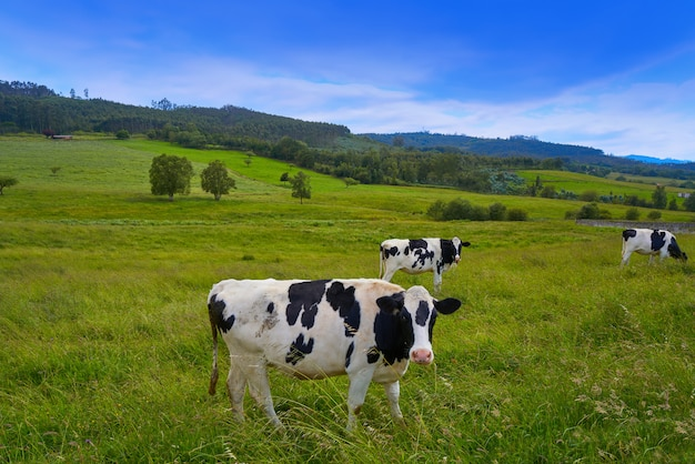 Friesian cows in asturias meadow spain